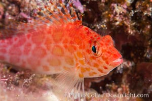 Coral Hawkfish, Sea of Cortez, Baja California, Isla San Diego, Mexico