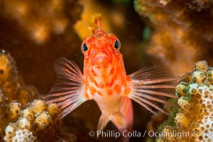 Coral Hawkfish, Sea of Cortez, Baja California. Isla San Diego, Baja California, Mexico, natural history stock photograph, photo id 33551