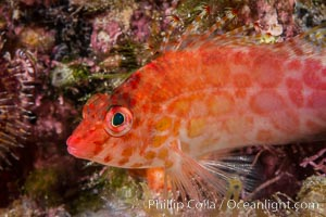 Image 33557, Coral Hawkfish, Sea of Cortez, Baja California. Isla San Diego, Baja California, Mexico, Phillip Colla, all rights reserved worldwide. Keywords: baja, baja california, baja california sur, cirrhitichthys oxycephalus, coral hawkfish, gulf of california, isla san diego, mexico, nature, ocean, sea of cortez, underwater.
