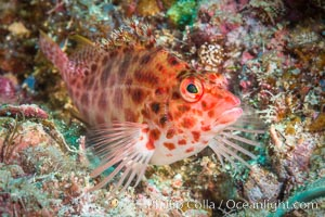 Coral Hawkfish, Sea of Cortez, Baja California. Baja California, Mexico, natural history stock photograph, photo id 33608