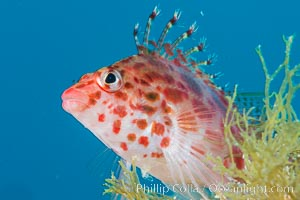 Coral Hawkfish, Sea of Cortez, Baja California
