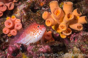 Coral Hawkfish, Sea of Cortez, Baja California. Isla Las Animas, Baja California, Mexico, natural history stock photograph, photo id 33681