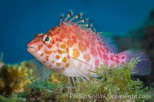 Coral Hawkfish, Sea of Cortez, Baja California. Isla San Diego, Mexico, natural history stock photograph, photo id 33714
