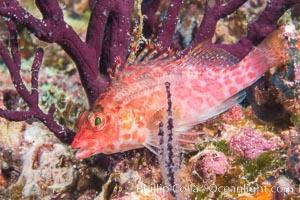 Coral Hawkfish, Sea of Cortez, Baja California. Isla Espiritu Santo, Baja California, Mexico, natural history stock photograph, photo id 33772