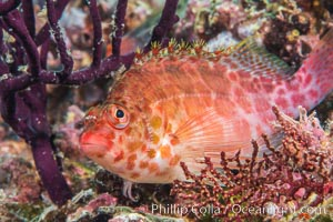 Coral Hawkfish, Sea of Cortez, Baja California. Isla Espiritu Santo, Baja California, Mexico, natural history stock photograph, photo id 33773