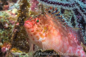 Coral Hawkfish, Sea of Cortez, Baja California. Isla Espiritu Santo, Mexico, natural history stock photograph, photo id 33774