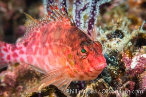 Coral Hawkfish, Sea of Cortez, Baja California. Isla Espiritu Santo, Baja California, Mexico, natural history stock photograph, photo id 33775