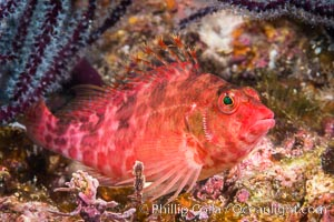 Coral Hawkfish, Sea of Cortez, Baja California. Isla Espiritu Santo, Baja California, Mexico, natural history stock photograph, photo id 33779