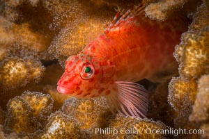 Coral Hawkfish, Sea of Cortez, Baja California. Isla Espiritu Santo, Baja California, Mexico, natural history stock photograph, photo id 33786