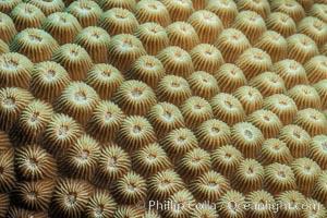 Closeup view of stony coral polyp details, Fiji, Makogai Island, Lomaiviti Archipelago