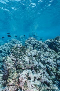Coral Reef Scene Underwater at Rose Atoll, American Samoa, Rose Atoll National Wildlife Refuge