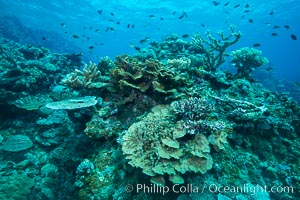 Coral reefscape in Fiji. Stony corals, such as the various species in this image, grow a calcium carbonate skeleton which they leave behind when they die. Over years, this deposit of calcium carbonate builds up the foundation of the coral reef. Fiji, Vatu I Ra Passage, Bligh Waters, Viti Levu  Island