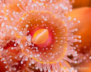 The corallimorph Corynactis californica, similar to both stony corals and anemones, is typified by a wide oral disk and short tentacles that radiate from the mouth.  The tentacles grasp food passing by in ocean currents, Corynactis californica, San Diego, California