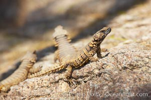 Armadillo lizard, Cordylus cataphractus