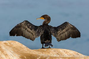 Double-crested cormorant drys its wings in the sun following a morning of foraging in the ocean, La Jolla cliffs, near San Diego
