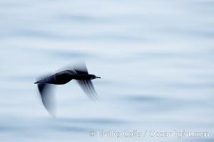 Cormorant in flight, blurred as it speeds over the ocean. La Jolla, California, USA, Phalacrocorax, natural history stock photograph, photo id 18463