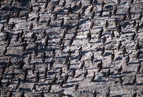 Cormorant colony, Coronado Islands, Mexico, Phalacrocorax, Coronado Islands (Islas Coronado)