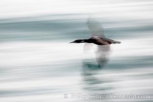 Cormorant in flight, blurred as it speeds over the ocean. La Jolla, California, USA, Phalacrocorax, natural history stock photograph, photo id 18462