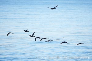 Cormorants flight together over the ocean, Phalacrocorax, La Jolla, California