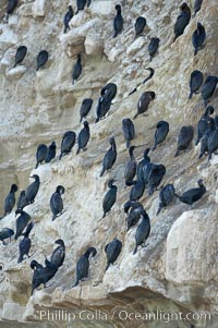 Cormorants rest on sandstone seacliffs above the ocean.  Likely Brandts and double-crested cormorants, Phalacrocorax, La Jolla, California