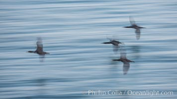 Cormorants in flight, wings blurred by time exposure. La Jolla, California, USA, Phalacrocorax auritus, natural history stock photograph, photo id 30163