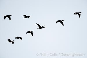 Cormorants flying, Batiquitos Lagoon, Carlsbad, California