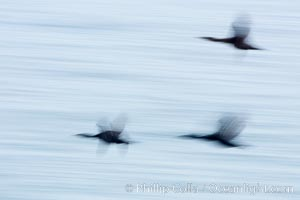 Cormorants in flight, wings blurred by time exposure, Phalacrocorax, La Jolla, California