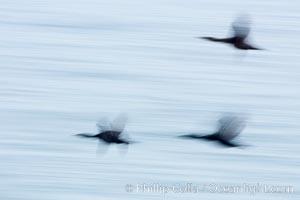 Cormorants in flight, wings blurred by time exposure, Phalacrocorax, La Jolla, California