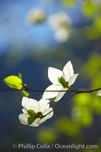 Mountain dogwood, or Pacific dogwood, Yosemite Valley. Yosemite National Park, California, USA, Cornus nuttallii, natural history stock photograph, photo id 12678