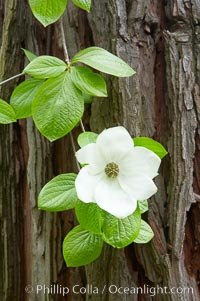 Mountain dogwood, or Pacific dogwood, Yosemite Valley. Yosemite National Park, California, USA, Cornus nuttallii, natural history stock photograph, photo id 12696