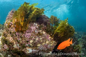 Coronado Islands Underwater Reefscape, various algae on rocky reef, Coronado Islands (Islas Coronado)