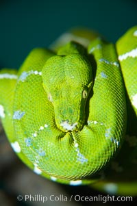 Emerald tree boa.  Emerald tree boas are nocturnal, finding and striking birds and small mammals in complete darkness.  They have infrared heat receptors around their faces that allow them to locate warm blooded prey in the dark, sensitive to as little as 0.4 degrees of Fahrenheit temperature differences., Corralus caninus, natural history stock photograph, photo id 13966