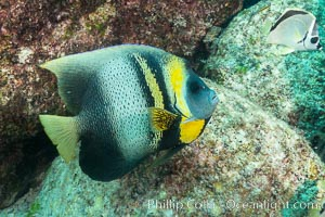 Cortez Angelfish, Pomacanthus zonipectus, Sea of Cortez, Mexico. Isla San Francisquito, Baja California, Mexico, natural history stock photograph, photo id 33637