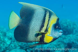 Cortez Angelfish, Pomacanthus zonipectus, Sea of Cortez, Mexico, Punta Alta, Baja California