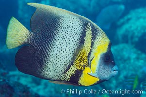 Cortez Angelfish, Pomacanthus zonipectus, Sea of Cortez, Mexico. Punta Alta, Baja California, Mexico, natural history stock photograph, photo id 33729