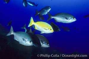 Cortez chubb including golden phase. Guadalupe Island (Isla Guadalupe), Baja California, Mexico, Kyphosus elegans, natural history stock photograph, photo id 06179
