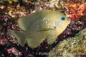 Cortez damselfish, Segastes rectifaenum, Sea of Cortez, Mexico, Isla San Diego, Baja California