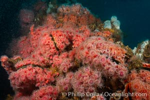 Corynactis anemones on Oil Rig Elly underwater structure. Long Beach, California, USA, Corynactis californica, natural history stock photograph, photo id 31121