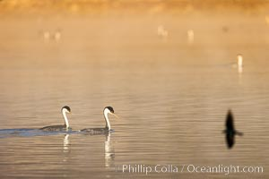Courting Pair of Western Grebes at Sunrise, mist of Lake Hodges, San Diego, Aechmophorus occidentalis
