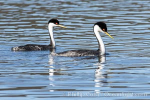 Courting Pair of Western Grebes, Lake Hodges, San Diego, Aechmophorus occidentalis