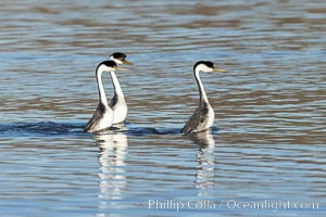 Courting Trio of Western Grebes, Aechmophorus occidentalis, Lake Hodges, San Diego, California