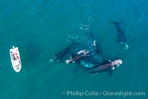 Courtship group of six Southern right whales, Eubalaena australis, Argentina, Eubalaena australis, Puerto Piramides, Chubut