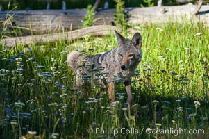A coyote hunts through grass for small rodents.  Heron Pond. Grand Teton National Park, Wyoming, USA, Canis latrans, natural history stock photograph, photo id 07334
