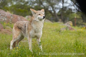 Coyote, Sierra Nevada foothills, Mariposa, California., Canis latrans, natural history stock photograph, photo id 15871