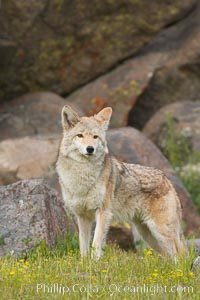 Coyote, Sierra Nevada foothills, Mariposa, California., Canis latrans, natural history stock photograph, photo id 15879