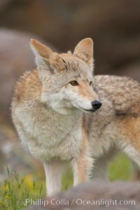 Coyote, Sierra Nevada foothills, Mariposa, California., Canis latrans, natural history stock photograph, photo id 15880