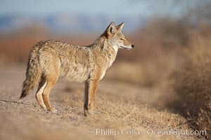 Coyote, pausing to look for prey as it passes through Bosque del Apache National Wildlife Refuge, Canis latrans, Socorro, New Mexico