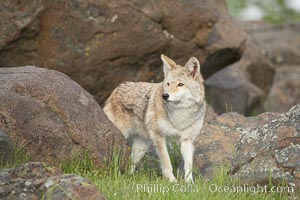 Coyote, Sierra Nevada foothills, Mariposa, California, Canis latrans