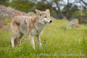 Coyote, Sierra Nevada foothills, Mariposa, California., Canis latrans, natural history stock photograph, photo id 15893