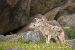Coyote, Sierra Nevada foothills, Mariposa, California., Canis latrans, natural history stock photograph, photo id 15894